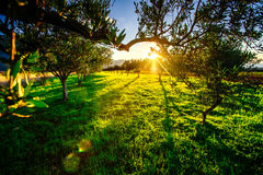 Green lawn and rays breaking through trees at sunset. Royalty Free Stock Photo