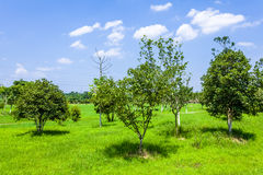 Green lawn and tree Stock Photography