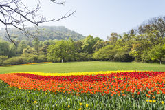 The green lawn and tulips flowers Royalty Free Stock Image