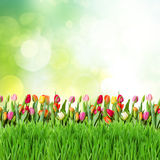 Green lawn with tulips Royalty Free Stock Images