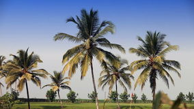 Green lawn under palm trees stock footage