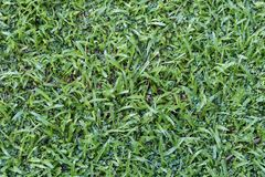 Green lawn after the wet season Stock Photo