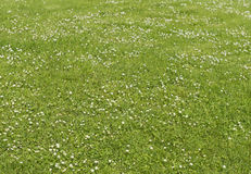 Green lawn on which grow daisies (Béllis perénnis) Royalty Free Stock Image