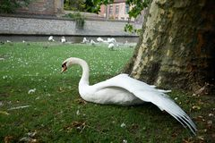 A green lawn with white swans near the lake in the tourist town of Bruges.  Stock Images