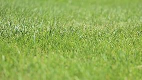 Green lawn in the wind. Green lawn under a breeze in the early summer morning stock video