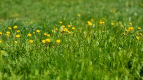 Free Green Lawn With Yellow Flowers. Nature, Natural Background. Stock Images - 217795344