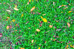 Green lawn and yellow leaves on the grass. Royalty Free Stock Photos