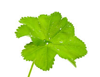 Green leaf with квпл�ми dews. Royalty Free Stock Image