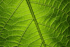 Green leaf. Texture, organic background Royalty Free Stock Images