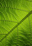Green leaf. Texture, organic background Stock Photos