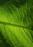 Green leaf. Texture, organic background Stock Images