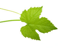Green leaf. From grape plant, isolated on white background Royalty Free Stock Photos