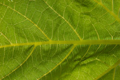 Green leaf. Macro texture of green leaf Stock Photography