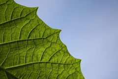 Green leaf. Texture, organic background Stock Image