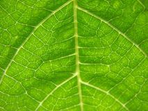 Green leaf. Macro photography of a fresh green leaf stock photos