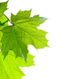 Green leaf. Stock Photos
