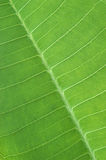 Green leaf. Close up background texture Royalty Free Stock Image