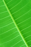 Green leaf. Vivid green leaf close up background texture Stock Image