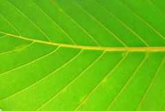 Green leaf. Structure of the green leaf Stock Photo