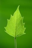 A green leaf. An isolated upward looking green leaf Royalty Free Stock Images