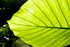 The green leaf Royalty Free Stock Photography