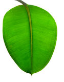 Green leaf. Isolated on white Stock Photo