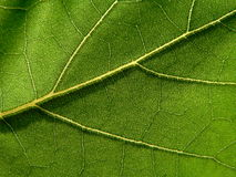 Green leaf. Series of the textures (green leaf Royalty Free Stock Images