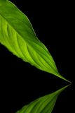 Green leaf. A green leaf with reflection, isolated on a black background stock photo