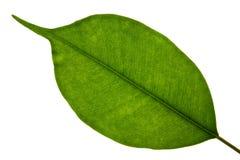 Free Green Leaf Royalty Free Stock Photo - 1462915