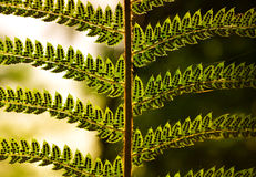 Green leaf. Green fern leaf closeup in the old oak forest Royalty Free Stock Photography