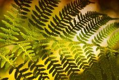 Green leaf. Green fern leaf closeup in the old oak forest Stock Photo