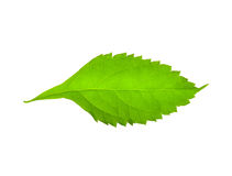 Green leaf. Stock Images