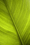 Green leaf. Of a banana tree Royalty Free Stock Image