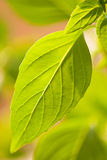 Green leaf. Close-up photo of green leaf Royalty Free Stock Image