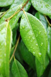 Green Leaf. Photo of green leaves after the rain Royalty Free Stock Photos