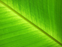 Green leaf. Clean green banana leaf with lines Stock Photography