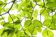 Green leaf. Yulan tree leaf on white background Royalty Free Stock Image