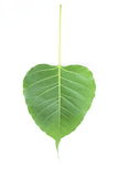 Green leaf. On white background Stock Photography