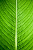 Green Leaf. A vibrant green leaf showing the clear patterns of nature Royalty Free Stock Photo