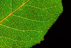 Green leaf. With detail veining Royalty Free Stock Images
