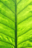 Green leaf. Vein macro close up Stock Images