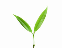 Free Green Leaf Royalty Free Stock Image - 21051926