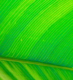 Green Leaf. Photoshoot for Abstract Art Project. Tropical Florida plam branch from Southern Gardens. Macro photo at 8mpx taken with Nikon 8700 stock photos