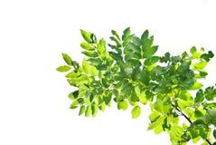 green leaf 图库摄影