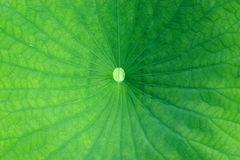 Green leaf. In the water garden Royalty Free Stock Images