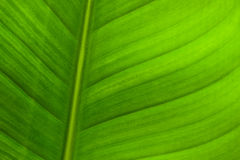 The green leaf. The leaf has regular nervure and attractive green, looks like a background Royalty Free Stock Images