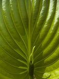 Green leaf. Close-up of a green leaf in bright light Stock Images