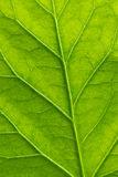 Green leaf. Of hibiscus with structure Royalty Free Stock Photos