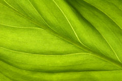Green leaf. Background with a green leaf Royalty Free Stock Photography