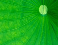 Green leaf. Big green lotus leaf Royalty Free Stock Images